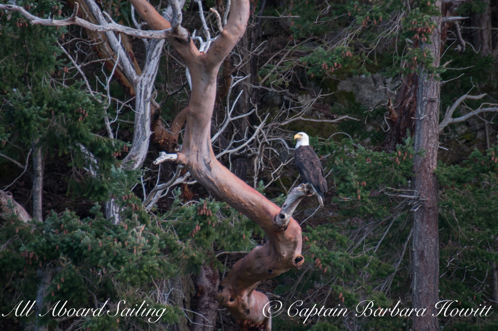 Bald Eagle in Pacific Madrona tree