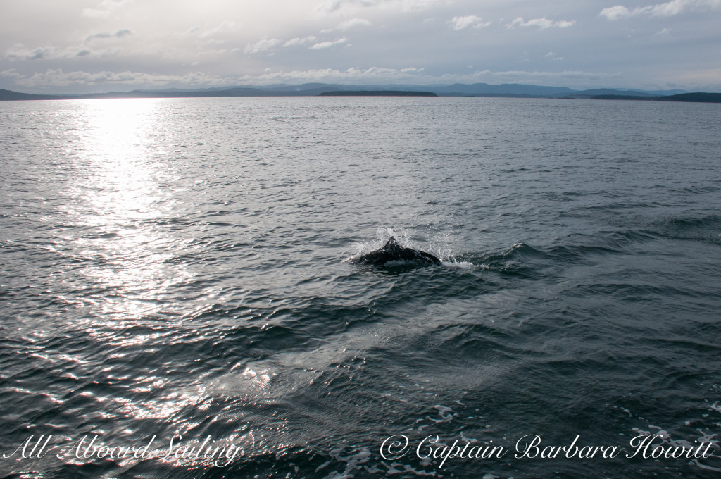 Dalls Porpoise playing beside us on the bow wave