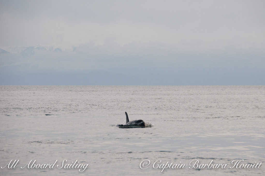 Southern Resident orca J19 Shachi approaches