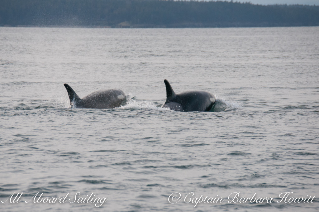 Southern Resident orcas J37 Hy'Shqa with J22 Oreo
