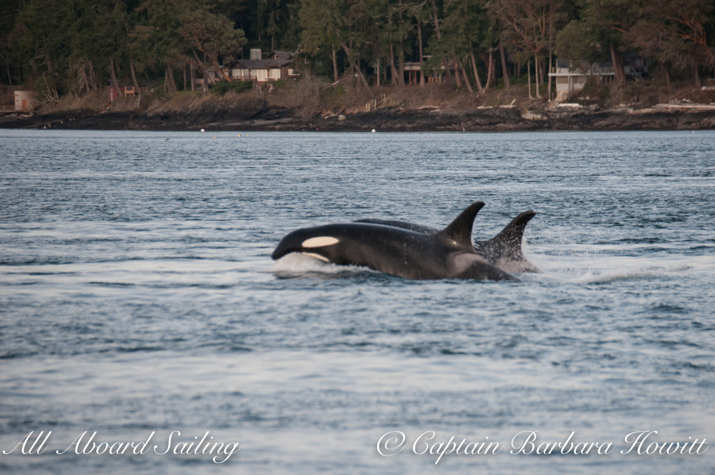 Southern Resident orcas J16 Slick with J19 Shachi