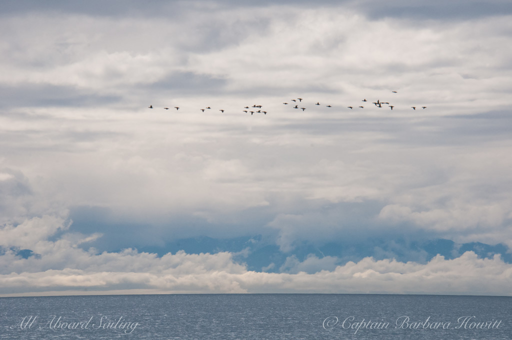 Migration crossing to the Olympic Peninsula
