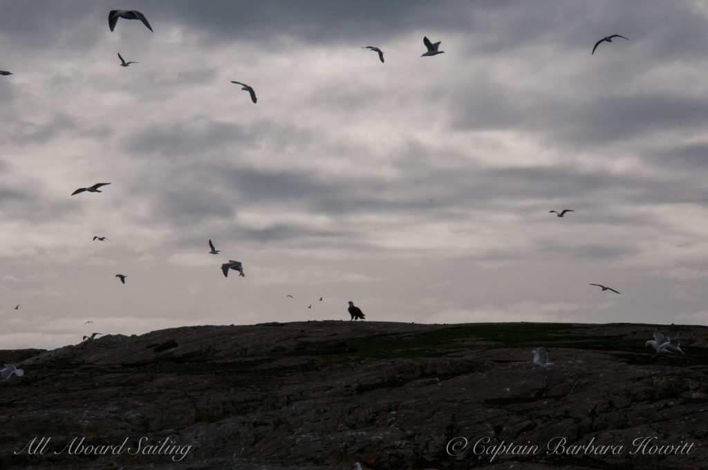 Bald eagle silhouette