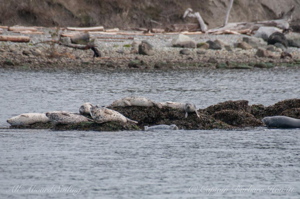 Harbor seals on Shark Reef