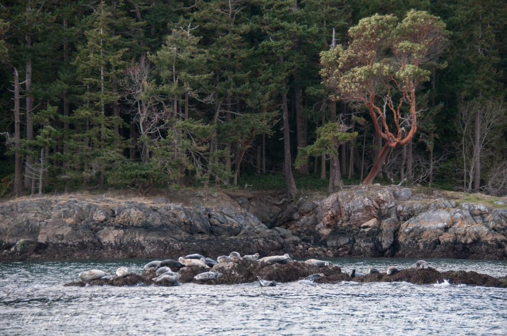 Harbor Seals at Jones Island