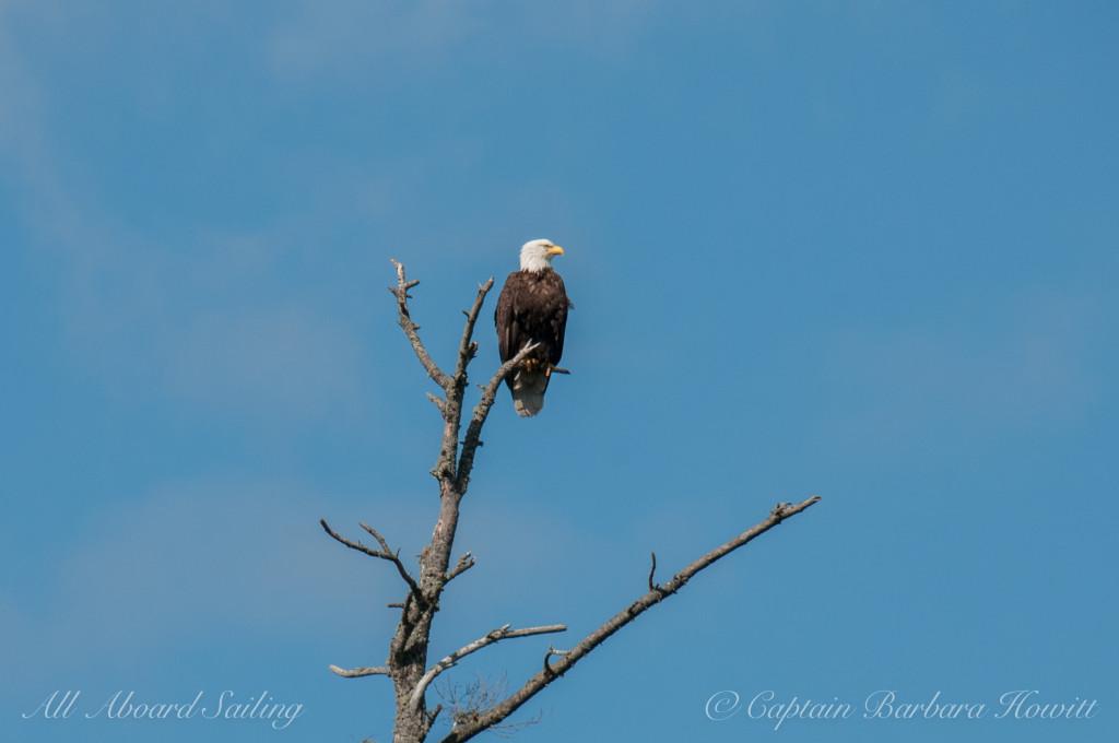 Bald eagle on Nob Island
