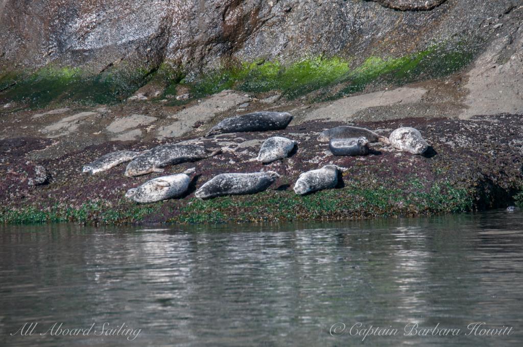 Harbor seals warming in sun