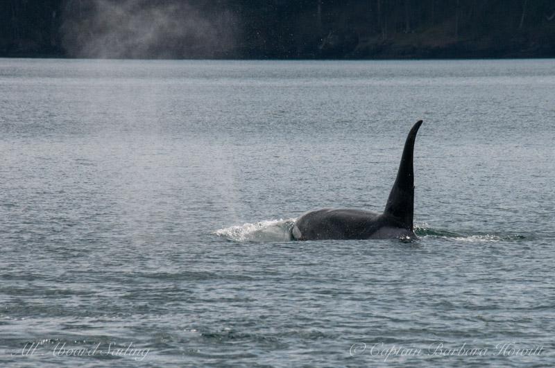 Transient Orca T46E, born 2003