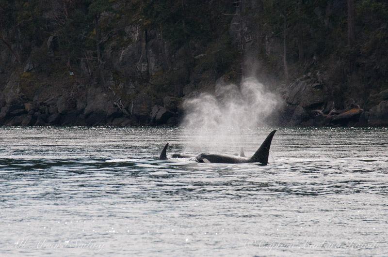 Male Transient Orca whale watching