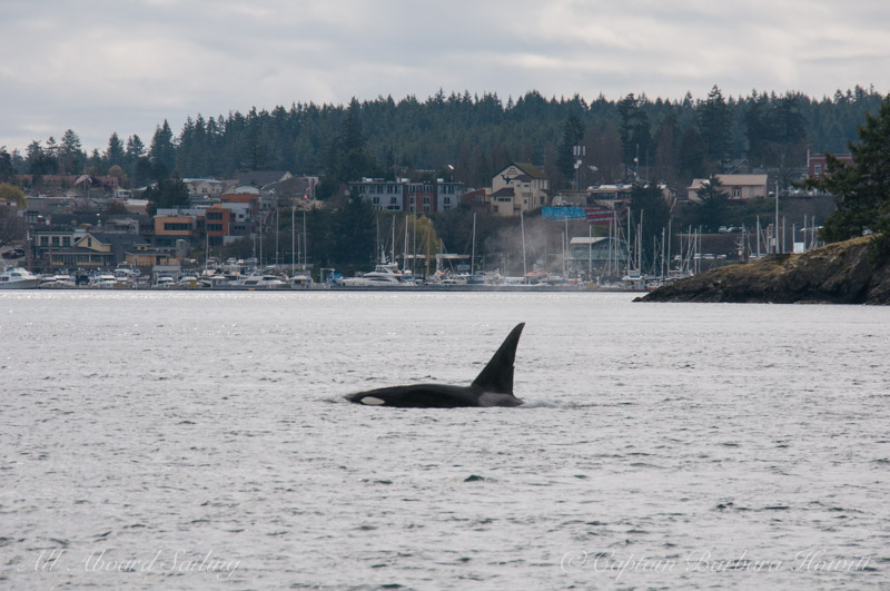 Whale watching Sailing with T46E passing FRIDAY HARBOR