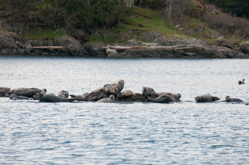 Harbor seals watch from a safe place as the orcas pass Turn Island