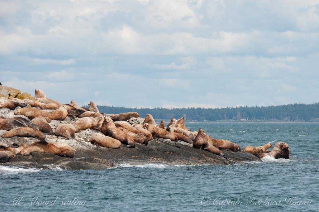 Steller Sea Lion bachelor beach party