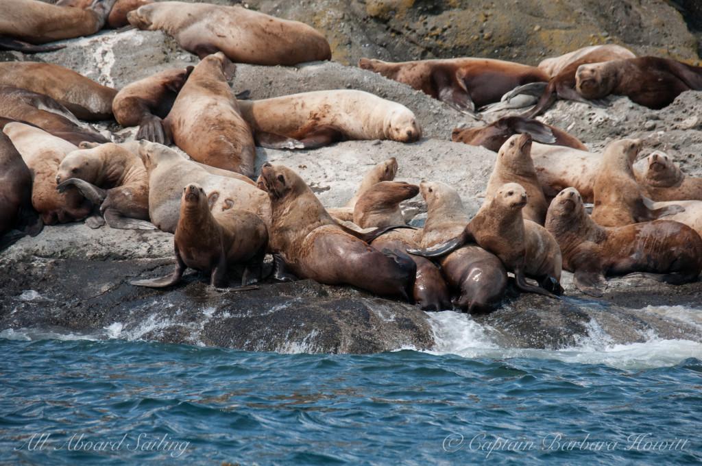 Sea Lions, Spieden Island