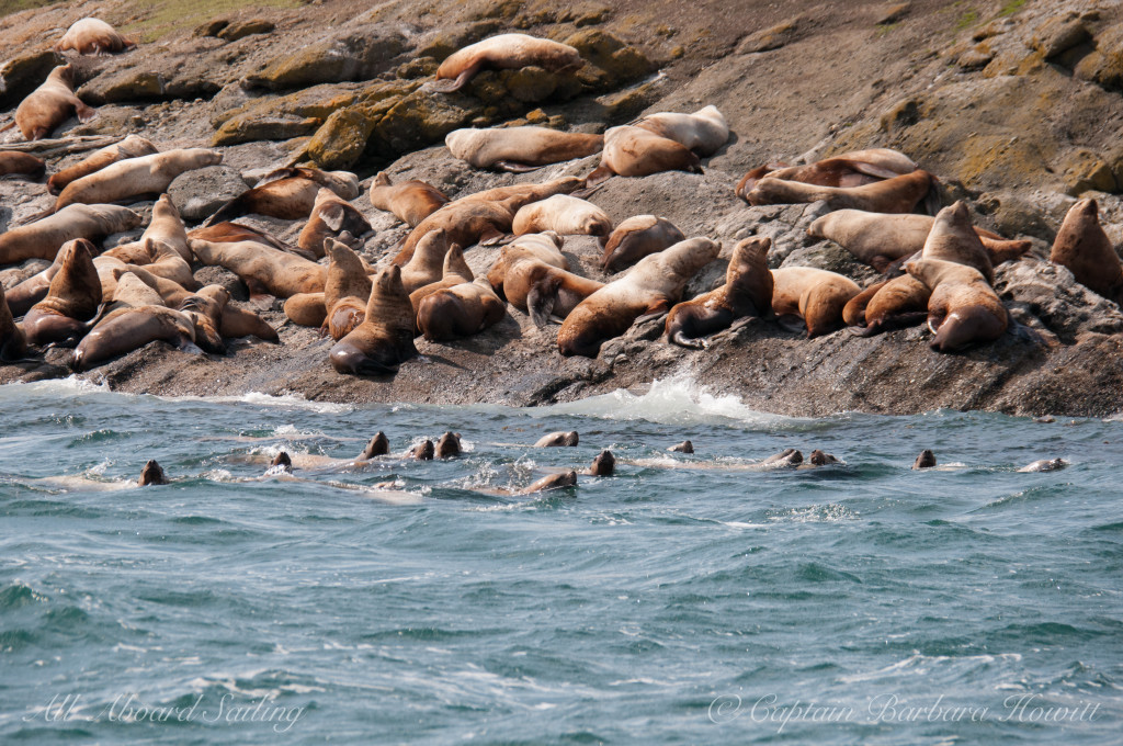 Sea Lions Green Point