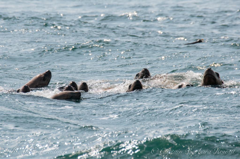 Steller Sea Lions swimming