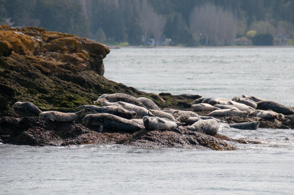 Harbor seals sunning on Sentinel Rock