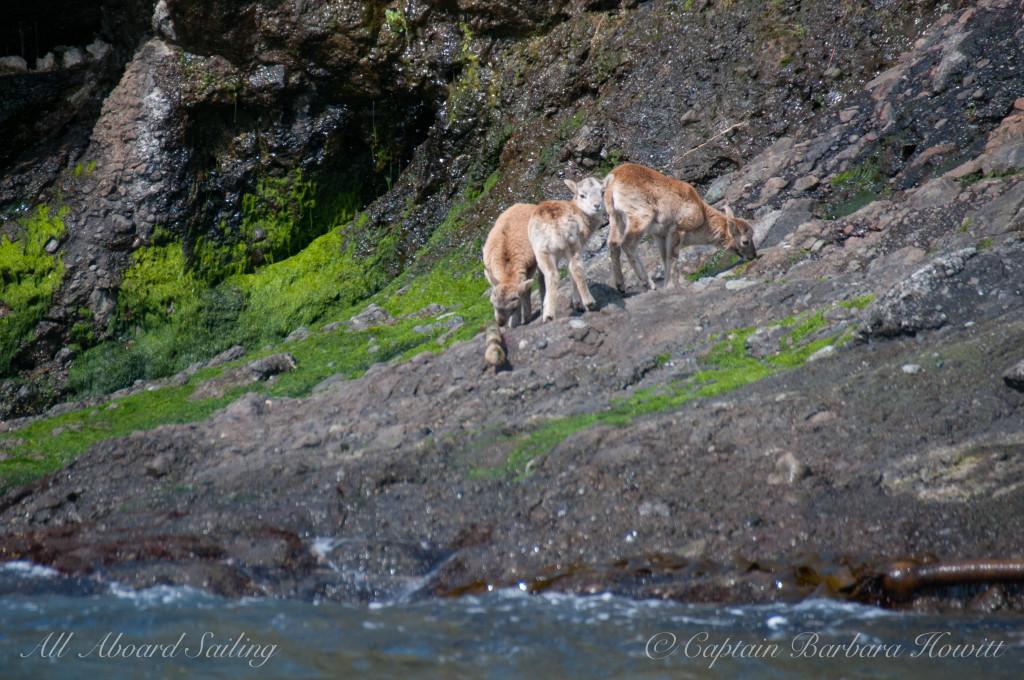 Mouflon Lambs