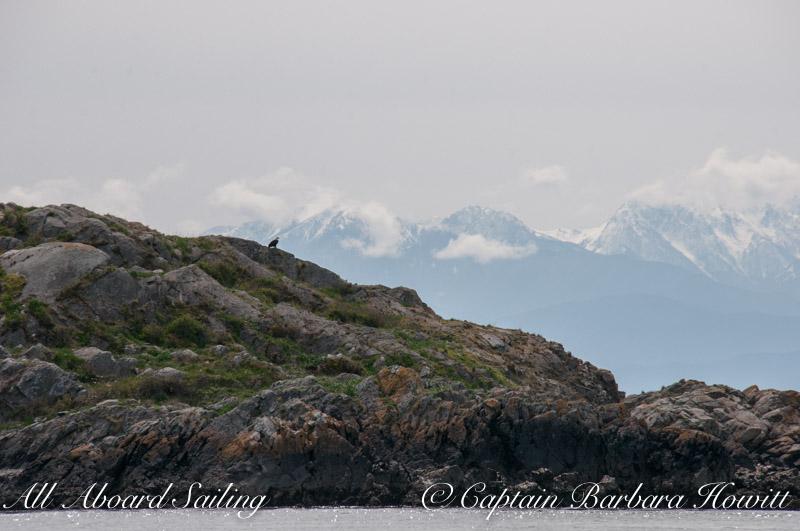Eagle on Deadman's Island with Hurricane Ridge of the Olympic peninsula