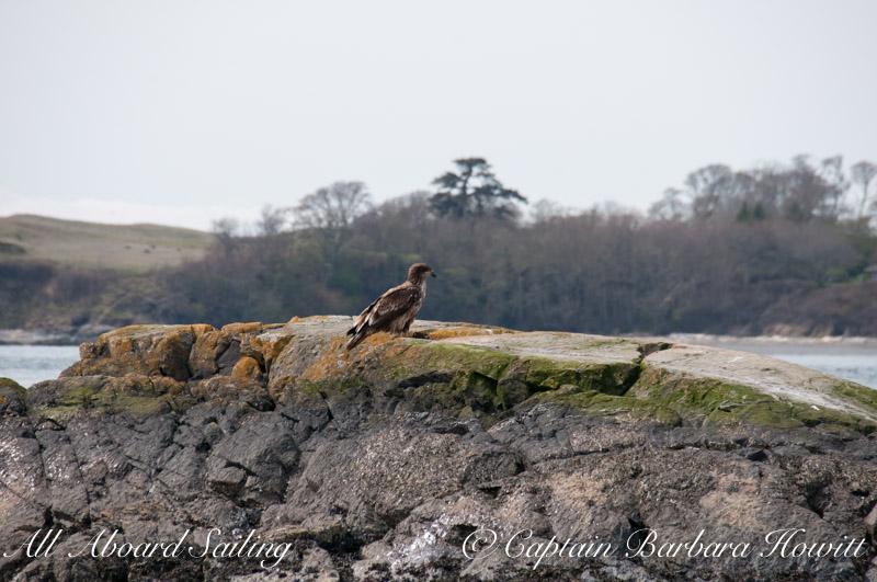 Immature Bald Eagle on Deadman's Island