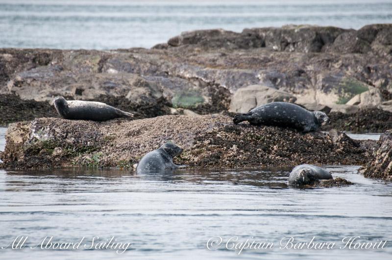 Harbor seals in a circle