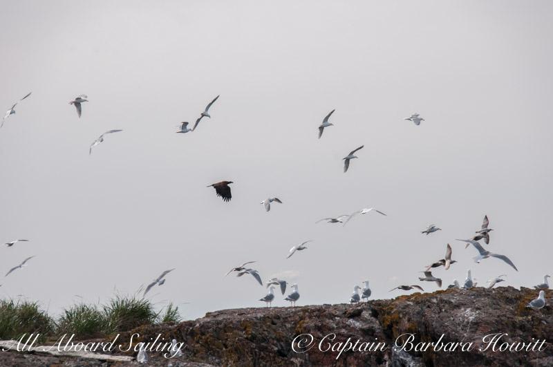 eagles spooks gulls