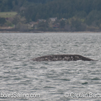 A gray whale at our door step