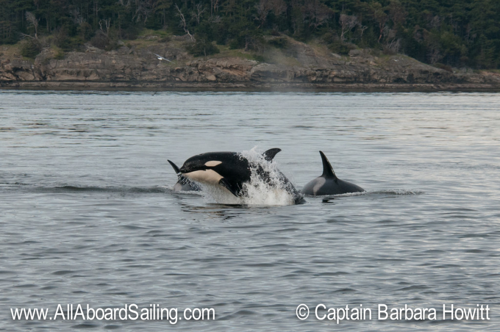 Juvenile orcas playing