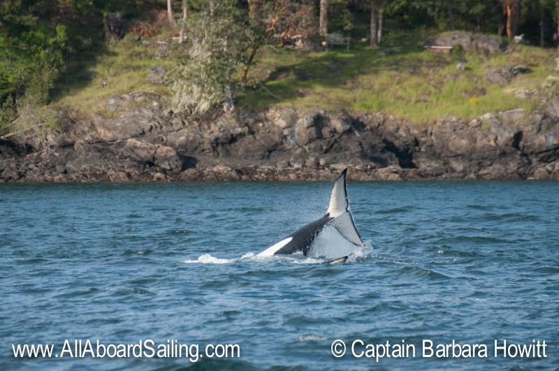 Orcas goofing around