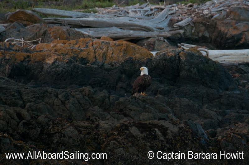 Bald Eagle on Low Island