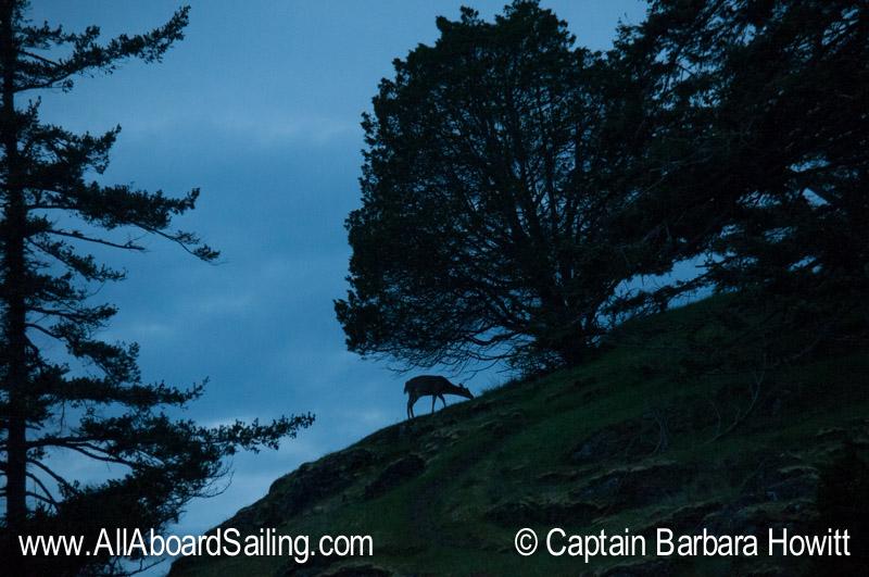 Deer grazing on Jones Island