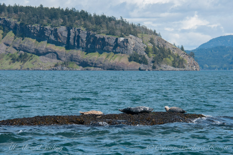 Harbor Seals on White Rock Reef