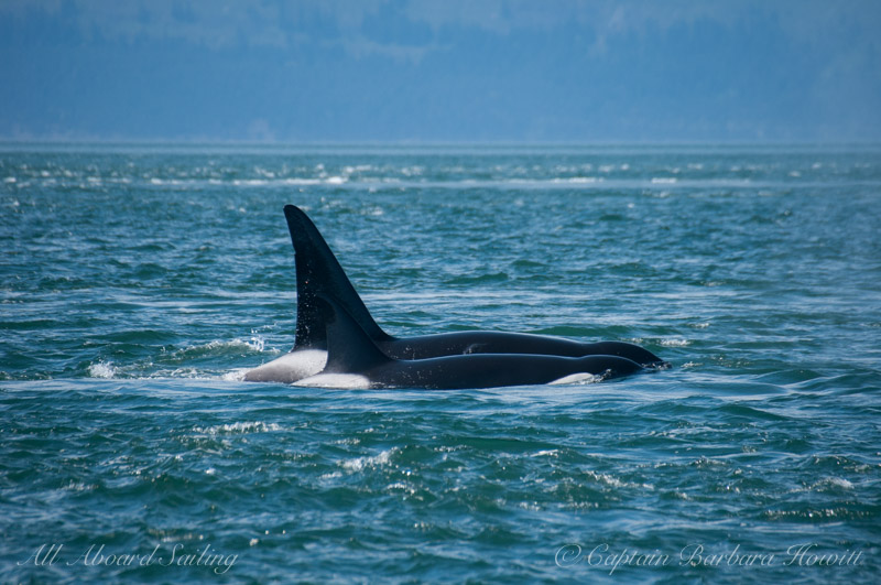 transient orcas T137 and T137A