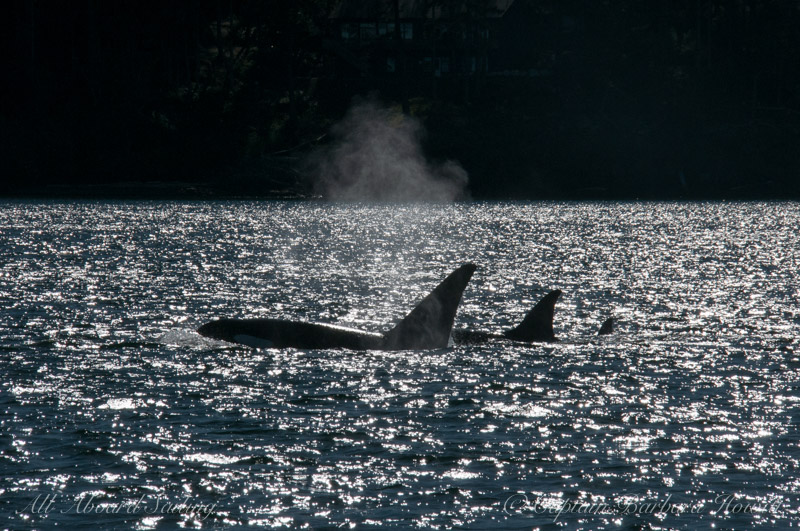 transient orcas T123's