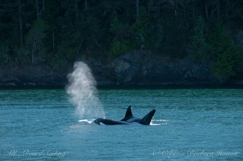 transient killer whales