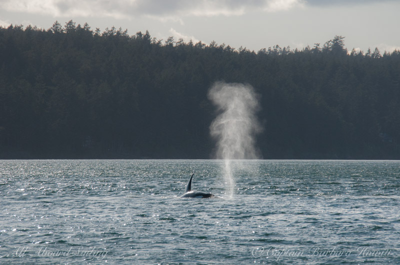 Orca Blows hang in the air