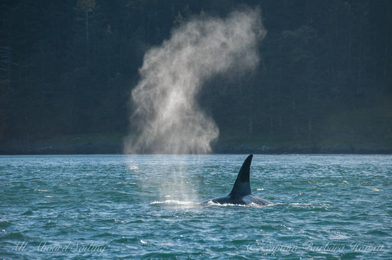 Killer whale blows