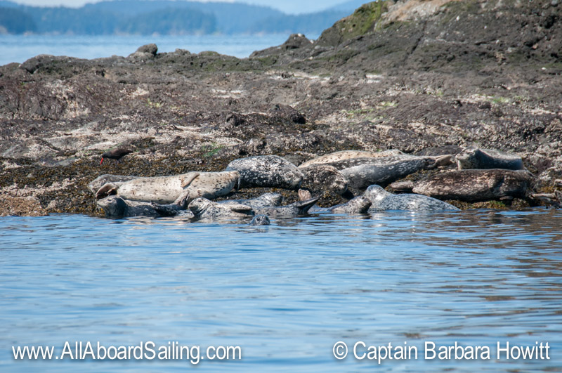 Harbor seals and black oyster catcher