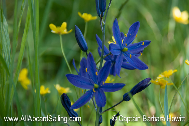 Blue camas and buttercups