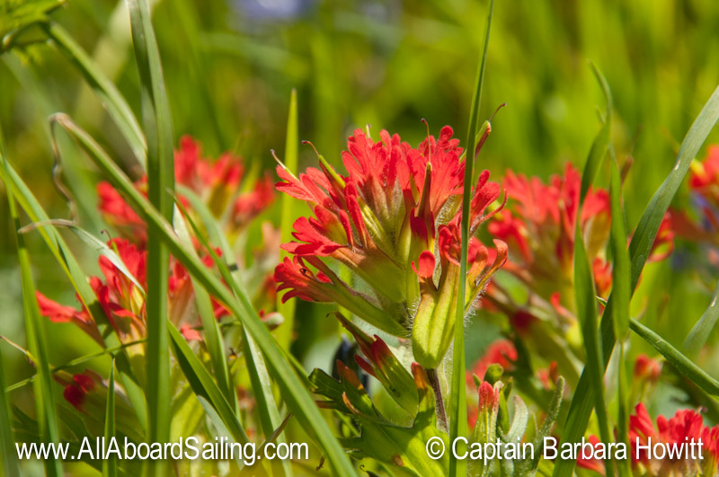 Castilleja híspida – harsh paintbrush