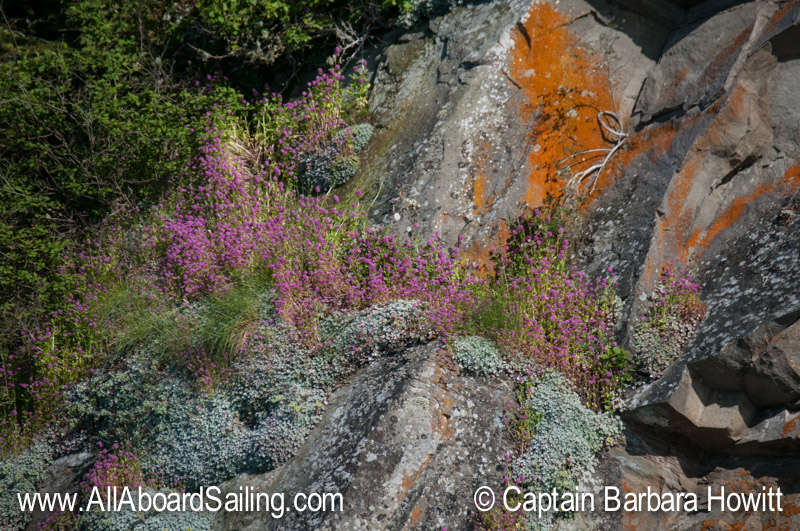 Wildflowers on Flattop Island