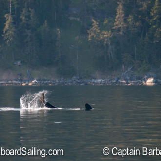 We met Southern Resident J Pod Orcas at Blunden Island