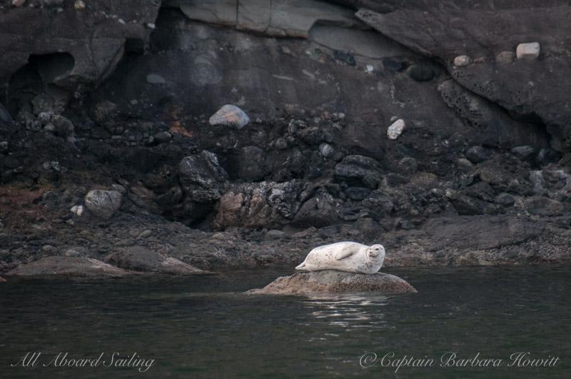 Harbor Seal Waldron Island