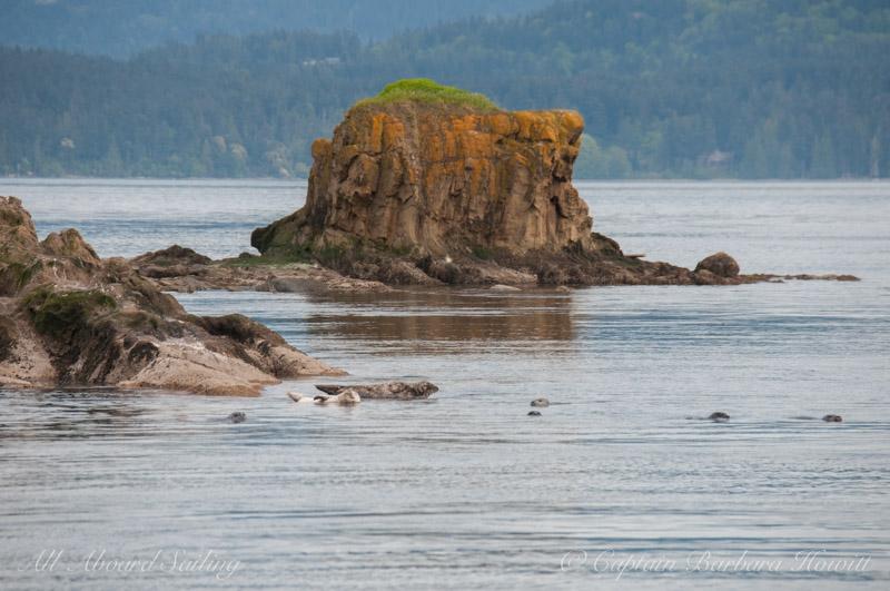 Harbor Seals Bare Island