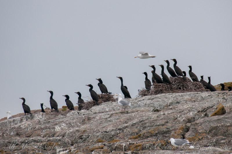 Cormorants on Goose Island