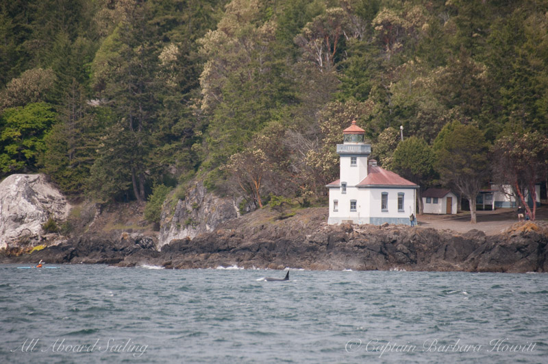 Transient orca passing Lime Kiln Point State Park Lighthouse