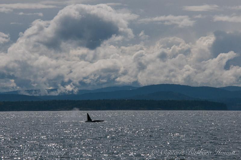 Transient orca T102
