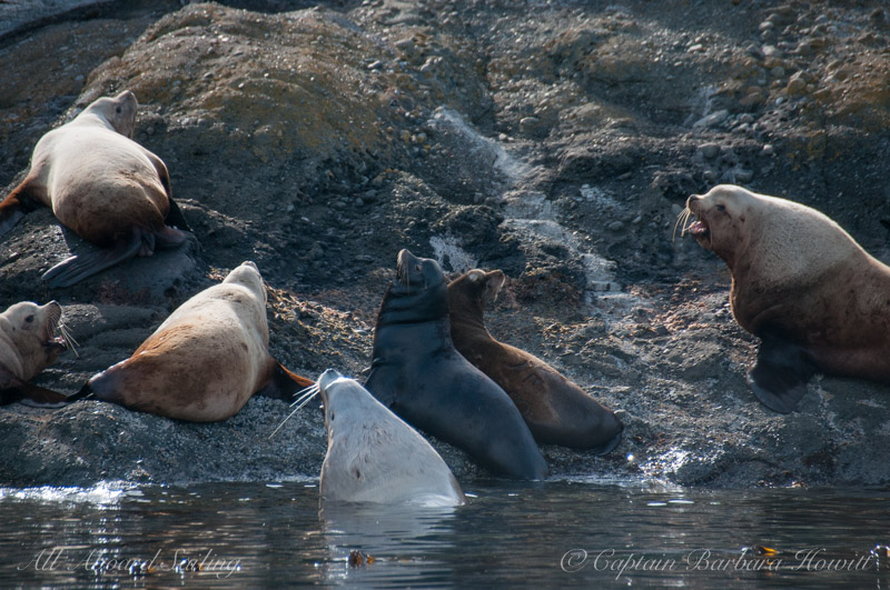 Two California sea lions with steller sea lions