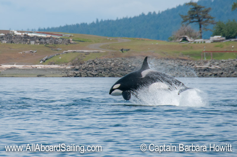 T123 chasing a steller sea lion