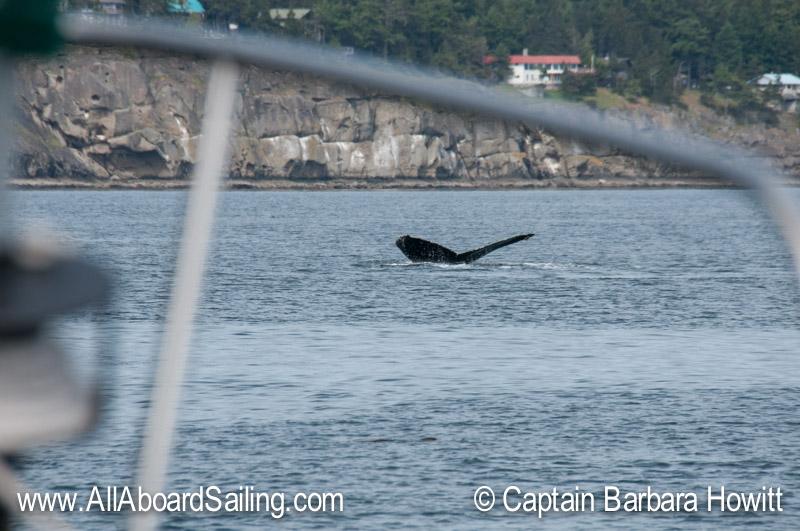Humpback Whale BCX1057 'Divot'