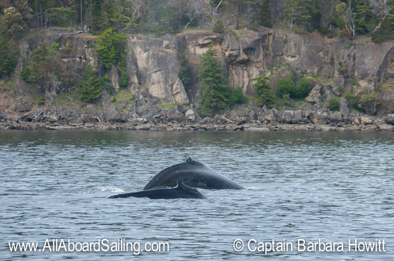 Humpback whales - Saturna Island in the background